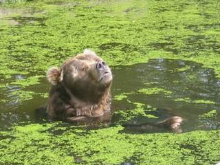 Kodiakbär schwimmt - Bär, schwimmen, Kodiak, Braunbär, Alaska, Raubtier, Artenschutz