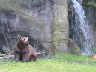 Kodiakbär sitzt - Bär, schwimmen, Kodiak, Braunbär, Alaska, Raubtier, Artenschutz, sitzen, Kodiakbär