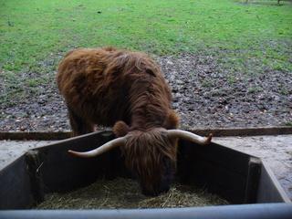 Schottisches  Hochlandrind - Schottisches Hochlandrind, Tierpark, Schottland, Rind, Wiederkäuer, Hörner, zottelig, Heu, fressen, Futter