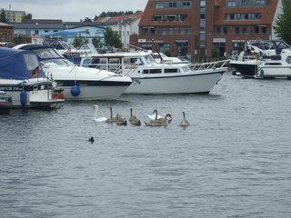 Hafen mit Schwanenfamilie - Natur, Vögel, Wildvögel, Schwan, Familie, Boot, Schiff, Hafen