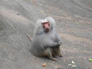 Mantelpavian - Affe, Pavian, grau, Mantelpavian, Afrika, Tiergarten, Artenschutz, gefährdete Art, Wörter mit v