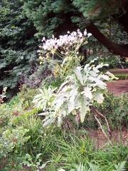 Löwenzahnähnliche Pflanze  auf Madeira 1 - Löwenzahn, Pflanze, Gänsedistel