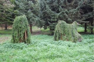 Gespenstfichten - Nadelbaum, Fichte, Gespenstfichte, Abart, Genveränderung, Veränderung, Wachstum, Baum