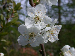 Apfelblüte - Obst, Blüte, Garten, Frühjahr, Baum, Obst, Apfel, Apfelbaum