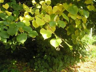 Linde - Linde, Zweige, Blätter, Samen, Blatt, Laubbaum