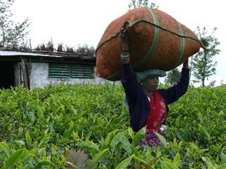 Teesack - Tee, Indien, Hochland, Arbeiterin, Landwirtschaft, Erdkunde, Teesack, Transport, tragen