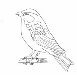 Sperling - Zeichnung - Sperling, Haussperling, Spatz, Singvogel, Vogel, fliegen, picken, singen, frech, hüpfen, Schnabel, Auge, Federn, Anlaut V