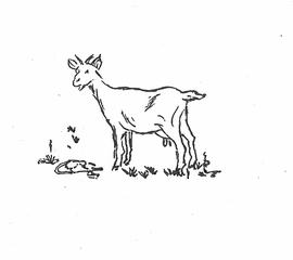 Ziege - Zeichnung - Ziege, Haustier, Geiß, meckern, Tier, weiß, Geißlein, Hippe, Schimpfwort, Schimpfwörter, dumm, albern, blöd, Zicke, Anlaut Z