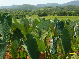 Tabakpflanze - Genussmittel, Kuba, Karibik, Droge, Plantage, Tabak, Nikotin, Pflanze, Nachtschattengewächs, Blätter
