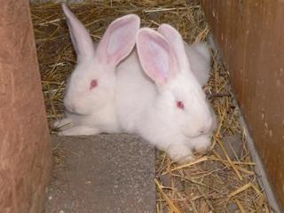 Zuchtkaninchen - Kaninchen, Haustier, Zuchttier, Tierkinder, Deutsche Riesenkaninchen, Albino
