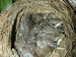 Amselnest mit Jungen - Amsel, kleiner Vogel, junger Vogel, Vogel, Jungvogel, jung, Nestling, Schreibanlass, Nest, Gelege, Brut