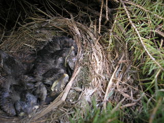 Amseljunge im Nest - Amsel, Vögel, Vogel, Nest, Standvögel, Frühling, Sommer, Wald