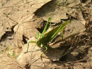 Heupferd  - Insekt, Heupferd, Nahaufnahme, Heuschrecke, Tettigoniidae, Tracheentier, grün
