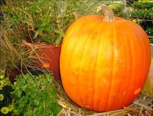 Kürbis 1 - Kürbis, Herbst, Halloween, Gemüse, orange