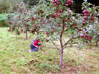 Apfelernte #1 - Apfel, Ernte, Herbst, Fallobst, auflesen
