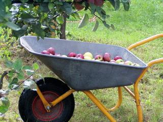Apfelernte #2 - Apfel, Äpfel, Karre, Ernte, Scheibtruhe, Schubkarre, Schreibanlass, Schubkarre, Obst, Wiese, Streuobstwiee