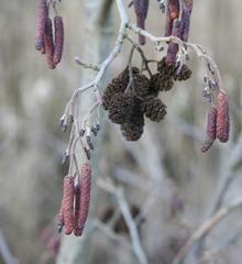 Erle - Erle, Schwarzerle, Birkengewächs, Alnus, Betulaceae, einhäusig