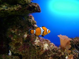 Clownfisch - Fisch, Clownfisch, Harlekinfisch, Orangeringel-Anemonenfisch, orange, Aquarium