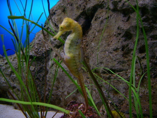Seepferdchen - Seepferd, Fisch, Pferderaupe, Seenadel, Aquarium