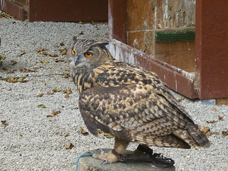 Uhu - Uhu, Eule, Vogel, Wildtiere in Europa, Greifvogel, Raubvogel, nachtaktiv