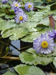 Blaue Seerosen - Gestaltungselement, Seerose, Seerosen, Wasserpflanze, Teich, Gewässer, blau, Blüte, Staubbeutel, Wasserpflanze, Schwimmblätter