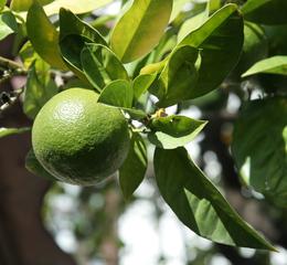 Orange #1 - Orange, Zitrusfrucht, Apfelsine, immergrün, Zitruspflanzen, unreif