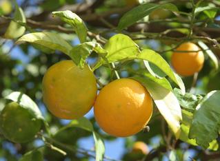 Orange #2 - Orange, Zitrusfrucht, Apfelsine, immergrün, Zitruspflanze, reif