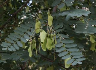 Robinie  - Robinie, falsche Akazie, Scheinakazie, Mimosengewächs, tipuana tipu, fabaceae, Schote, Frucht, Rinde