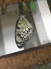 schlüpfender Schmetterling - Schmetterling, Puppe, Kokon, schlüpfen, verpuppen, Verpuppung, Insektenlarve, Hülle, Puppenhaut, hängen, Schmetterlingspuppe, Larve, Baumnymphe, schwarz, weiß
