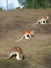 Kängurus - Australien, Tier, Beuteltier, Zoo, Känguru, Gehege, Symbol, Wappentier, drei, Menge, hüpfen, springen