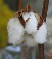 Baumwolle - Baumwolle, Cotton, Samenhaare, Naturfaser, Malvengewächs, Faser, Textilien, Textilfaser, Nutzpflanze, Agrarwirtschaft, Landwirtschaft, Zellulose