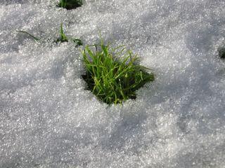Gras - Gras, grün, Schnee, weiß, Frühling, Tauwetter, Halme, Struktur, Meditation