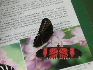 Schmetterling - Schmetterling, Tropen, Mittelamerika, Südamerika, tropisch, symmetrisch, Symmetrie, Kontrast, Bild, Abbild, Täuschung