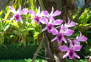 Zweig mit Orchideenblüten - Orchidee, Orchideen, Blüte, Blüten, rosa, Stempel, Pflanze, Pflanzen, Blume, Blumen, Phalaenopsis