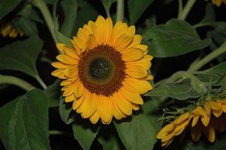 Sonnenblume - Natur, Blume, Sonnenblume