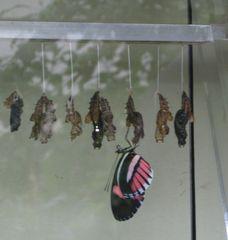 geschlüpfter Passionsblumenfalter - Schmetterling, Puppe, Kokon, schlüpfen, verpuppen, Verpuppung, Hülle, Puppenhaut, hängen, Schmetterlingspuppe, Passionsblumenfalter, trocknen, schimmern