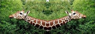 Afrikanischer Bumerang - Zoo, Giraffe, Fotomontage, Giraffenkopf, Schreibanlass, Symmetrie, Tarnung, Camouflage