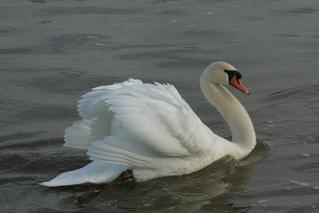 Schwan - sein Gefieder sträubend - schwimmen, Schwan, Wasser, Schwäne, Wasservogel, Höckerschwan, Schnabel, weiß, Wasser