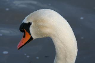 Schwanenkopf - schwimmen, Schwan, Wasser, Schwäne, Wasservogel, Höckerschwan, glitzern, Schnabel, weiß, Wasser
