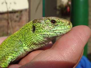 Eidechse  - Reptilie, grün, Echse, Artenschutz, Rote Liste, wechselwarm