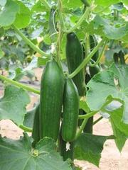 Gurken an der Pflanze - Gurkenpflanze, Gurke, Salatgurke, Schlangengurke, Gemüse