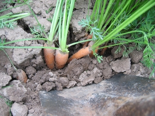 So wachsen Karotten auf dem Feld  - Karotte, Karotten, Möhre, Möhren, Mohrrübe, Gelbe Rübe, Ruebli, Gemüse