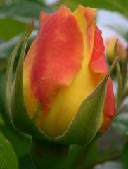 Rosenknospe - Rose, Schnittblume, Knospe, Rosengewächs