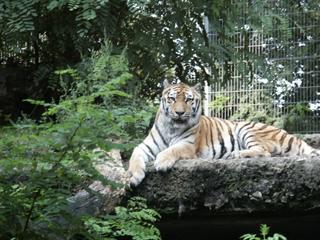 Entspannter Tiger - Tiger, Raubkatze, Großkatze, Biologie, eins, Zoo, Säugetier, Raubtier, Tarnung, Camouflage