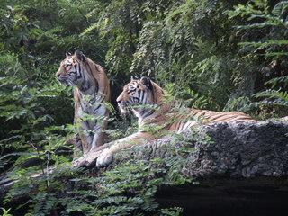 Zwei Tiger  - Tiger, Raubkatze, Großkatze, Biologie, Zoo, Säugetier, zwei, Raubtier, Tarnung, Camouflage