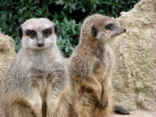 Erdmännchen - Erdmännchen, Raubtier, Katzenartige, Manguste, suricata suricatta, Wächter, Wache, sitzen, aufpassen, aufmerksam