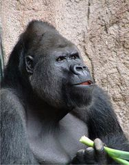 Gorilla 2 - Gorilla, Menschenaffe, Affe, Primat, Pflanzenfresser, Fell, Zoo, fressen, männlich