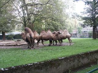 Kamele oder Trampeltiere - Kamel, Paarhufer, Schwielensohler, Altweltkamel, Trampeltier, zweihöckerig, Säugetier, Nahrungsspeicher
