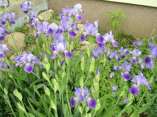 Iris - Iris, Schwertlilie, lila, blau, Heraldik, Lilie