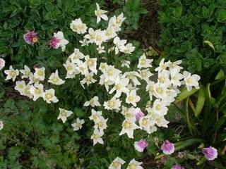 Anemonen - Anemone, weiß, Blüte, Frühling, Windröschen, Buschwindröschen